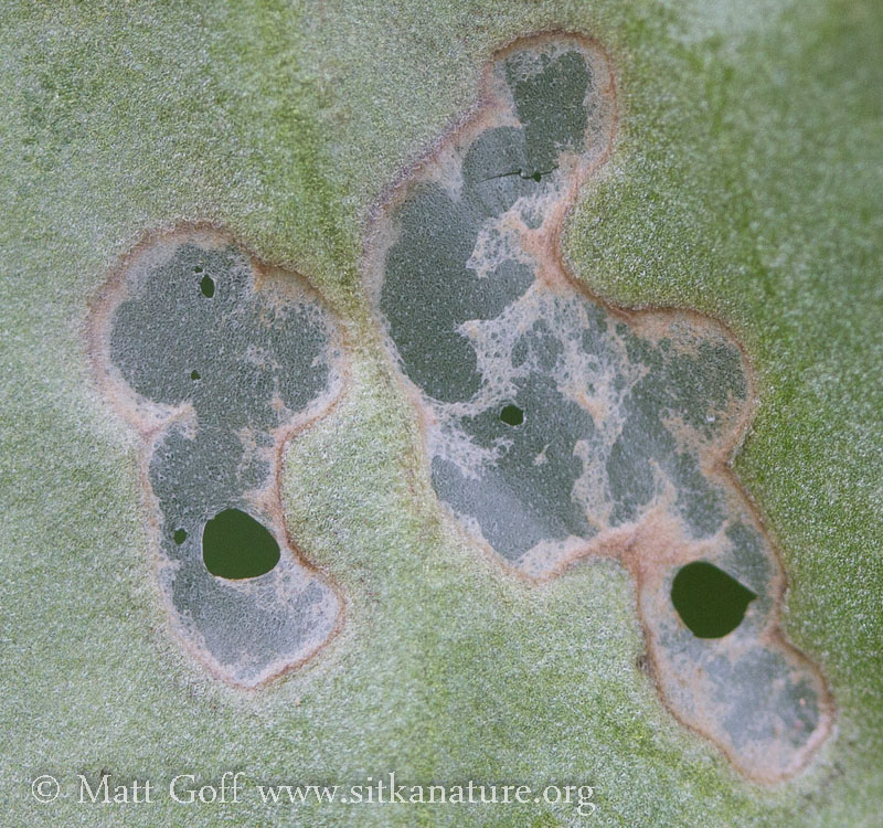 Leaf Damage on Deer Cabbage