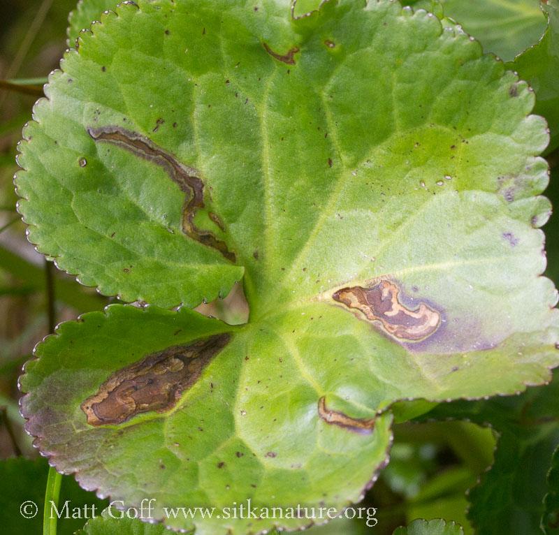 Leaf Mines in Deer Cabbage