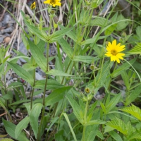 Blooming Arnica