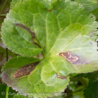 Leaf Mines in Deer Cabbage