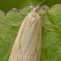 Moth (Crambidae?)