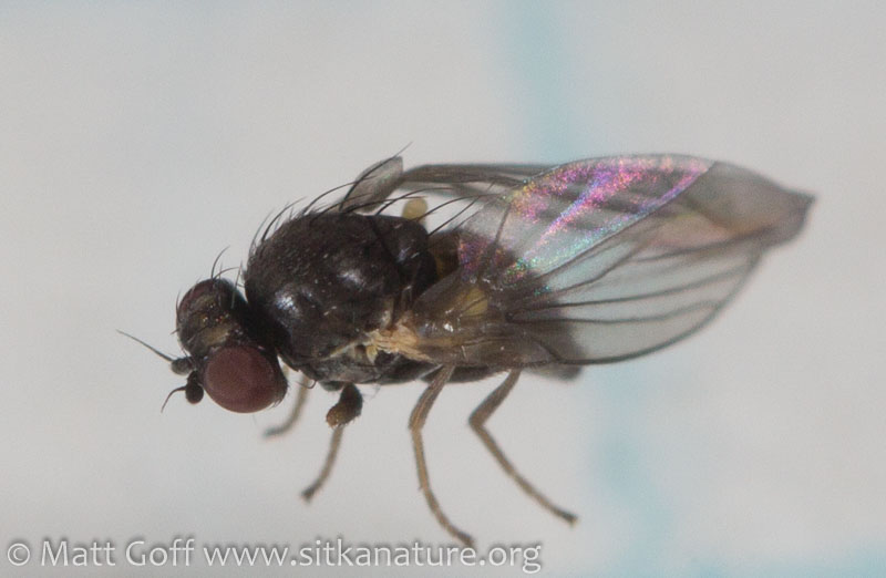 Leaf Mining Fly (Phytomyza sp)