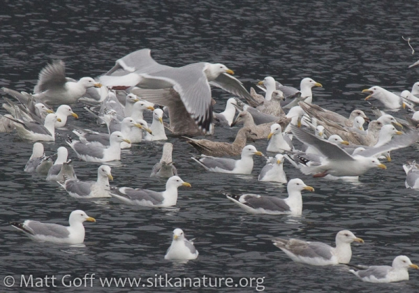 Channel Gulls