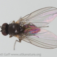 Leaf Mining Fly (Phytomyza sp)
