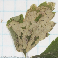 Phytomyza mine in Foamflower Leaf
