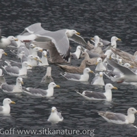 Channel Gulls