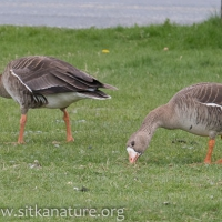 Greater White-fronted Geese at Swan Lake