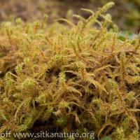 Springy Turf Moss (Rhytidiadelphus squarrosus)