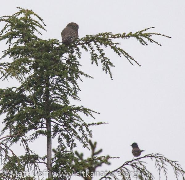 Northern Pygmy-Owl and Dark-eyed Junco