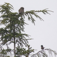 Northern Pygmy-Owl and Dark-eyed Junco