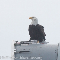 Bald Eagle with Gull