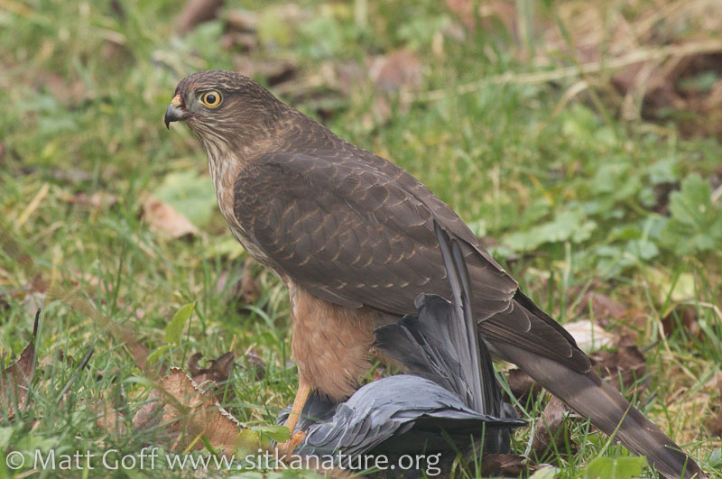 Sharp-shinned Hawk on Captured Rock Pigeon