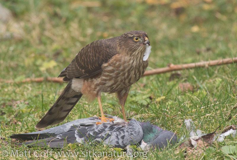 20160210-sharp-shinned_hawk_on_pigeon-6.jpg
