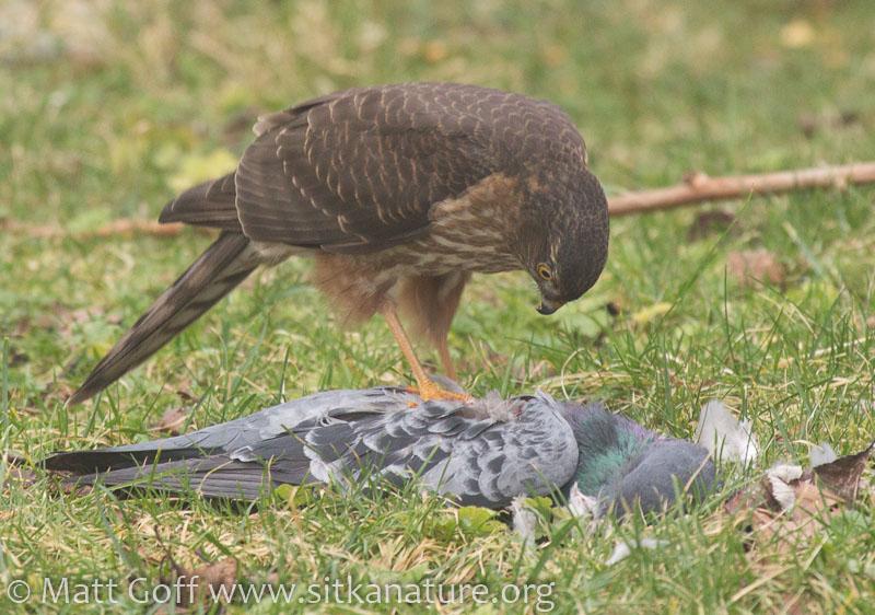 20160210-sharp-shinned_hawk_on_pigeon-7.jpg