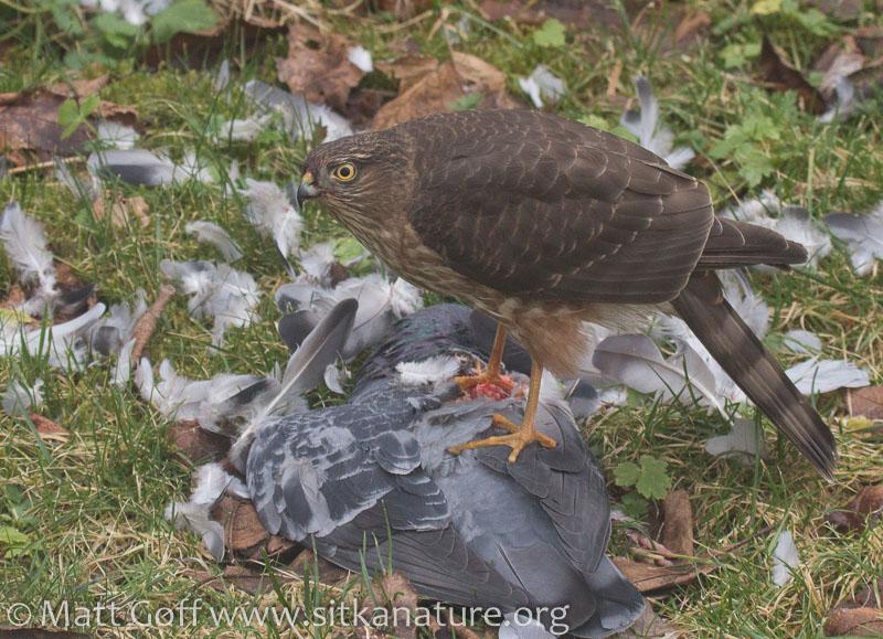 20160210-sharp-shinned_hawk_on_pigeon-8.jpg
