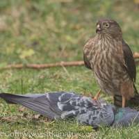 Sharp-shinned Hawk on Captured Rock Pigeon