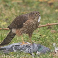 20160210-sharp-shinned_hawk_on_pigeon-6.jpg