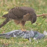 20160210-sharp-shinned_hawk_on_pigeon-7.jpg