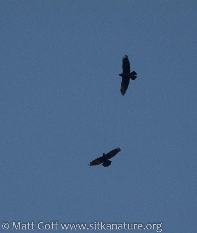 Soaring Ravens