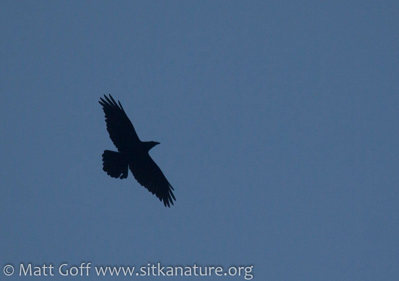 Soaring Raven
