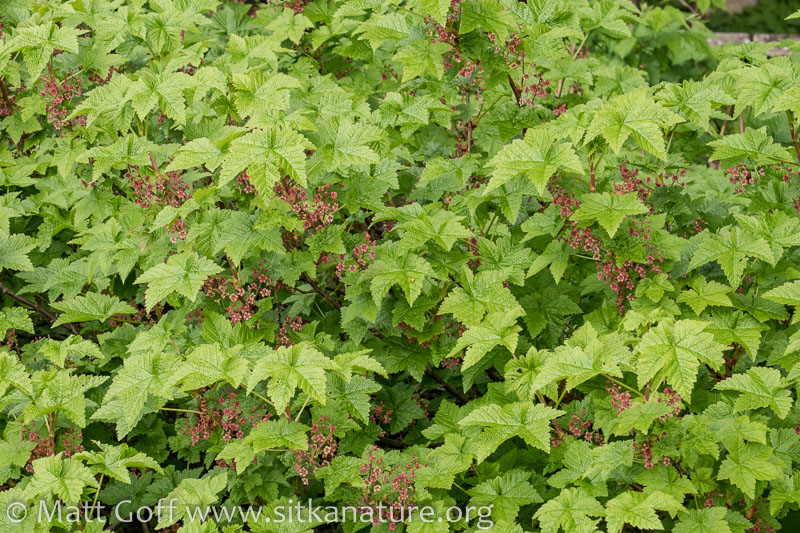 Trailing Currant (Ribes laxiflorum)