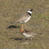 Red-necked Stint with Semipalmated Plover