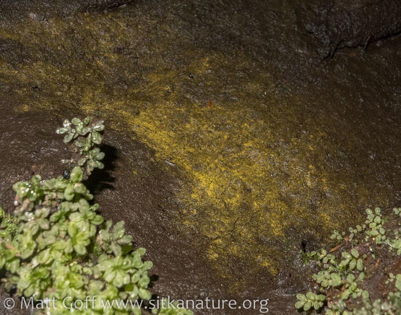 Golden Algae (Chromophyton rosanoffii)