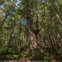 Large Western Hemlock (Tsuga heterophylla)