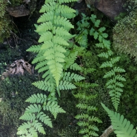 Unidentified Ferns