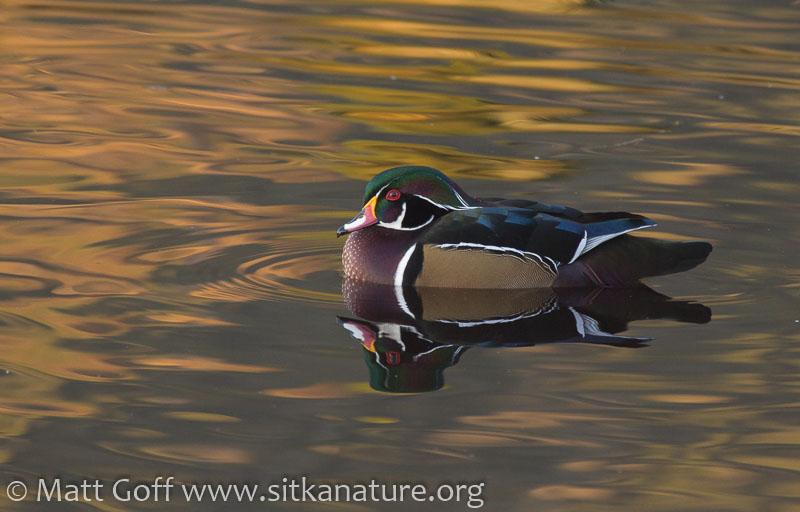 Wood Duck at Swan Lake