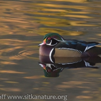 Wood Duck at Swan Lake