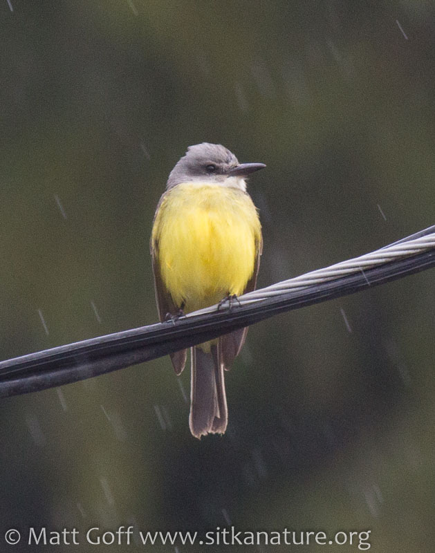 Tropical(?) Kingbird