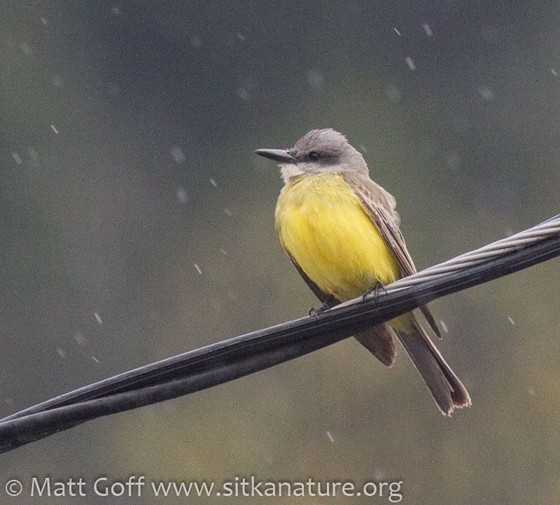 Tropical(?) Kingbird