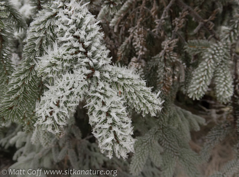 Frosted Spruce
