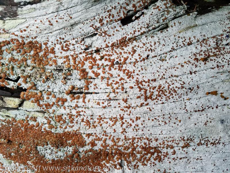 Driftwood Rim Lichen (Lecanora xylophila)