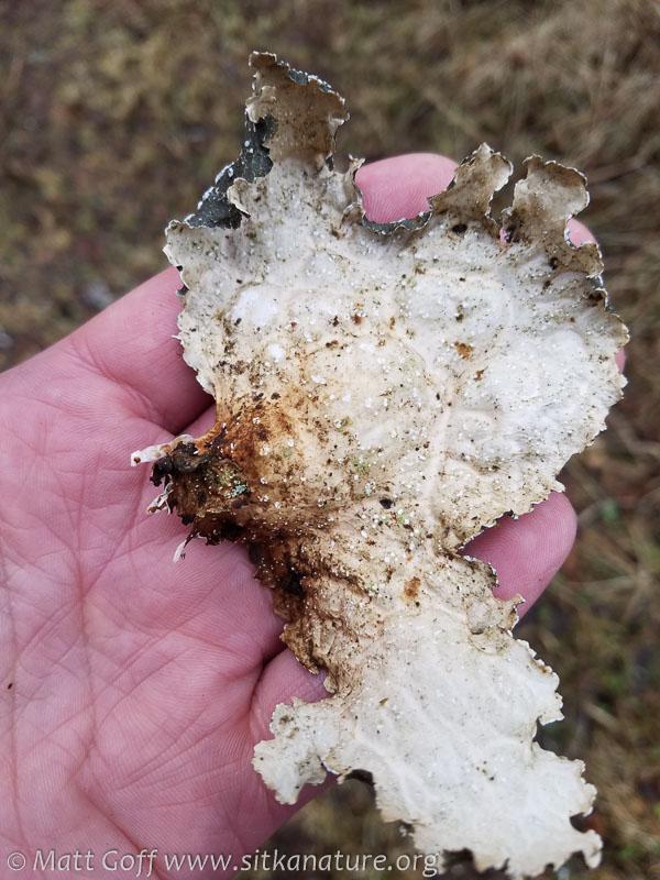 Lichen (Lobria sp?)