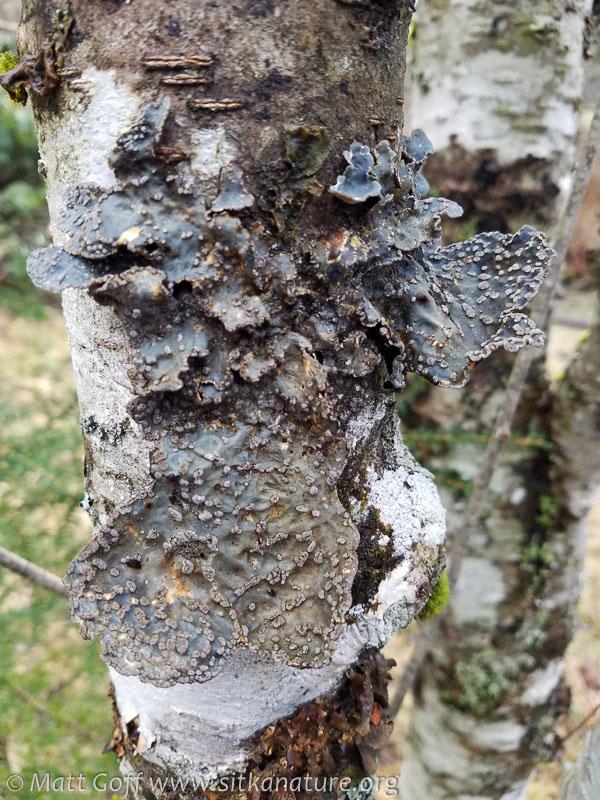 Lobaria scrobiculata