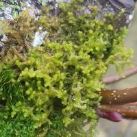Ptilidium californicum
