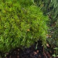 Dicranaceae