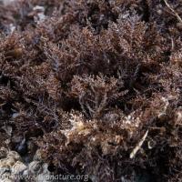 Scouring Pad Alga (Endocladia muricata)