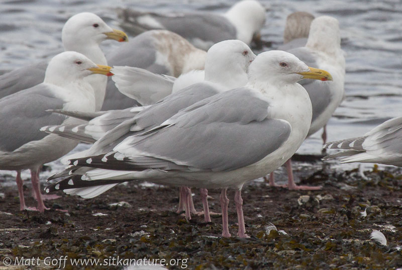 Cook Inlet Gull