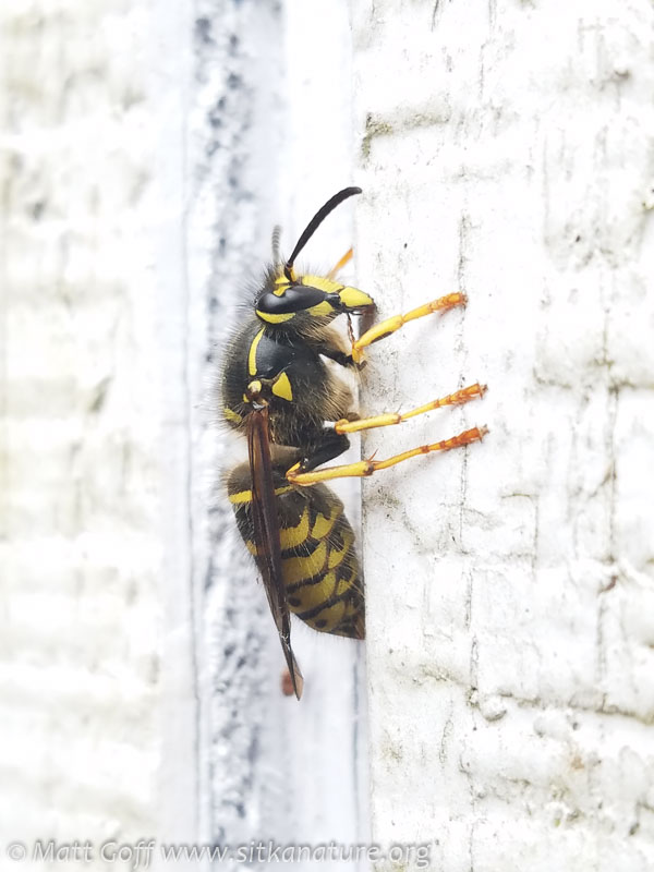 Yellowjacket (Dolichovespula arenaria)