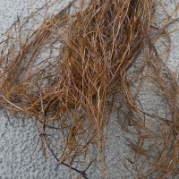 Brown Seaweed