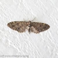 Pug Moth (Eupithecia sp)