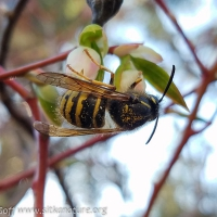 Common Aerial Yellowjacket (Dolichovespula arenaria)