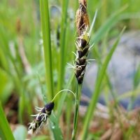 Carex pluriflora flowers