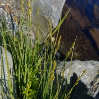 Sedge (Carex canescens)