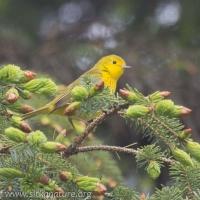 Yelllow Warbler