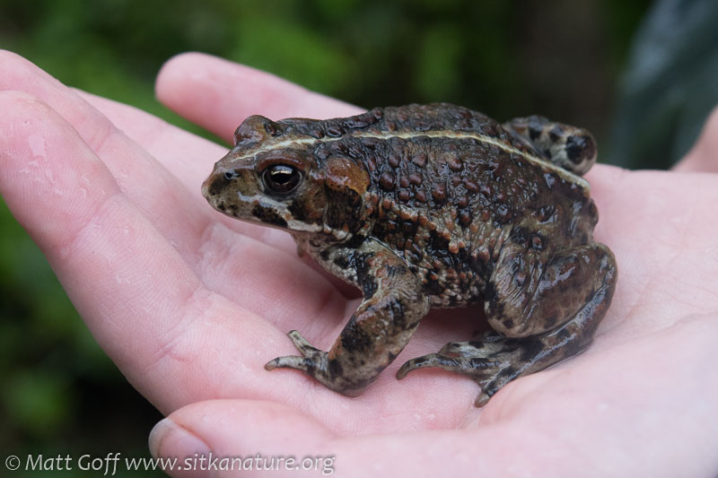 Western Toad (Anaxyrus boreas)