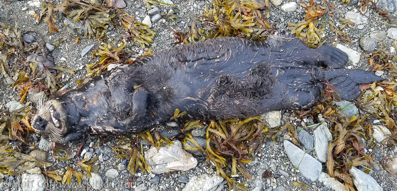 Deceased Sea Otter